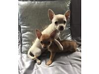 Chihuahua ready now