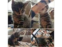 Gorgeous Bengal and Maine Coon cross kitten one left now