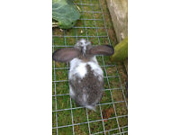 Baby Rex x Flop Eared Rabbits - £5