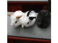 BABY LIONHEAD RABBITS AND HUTCH