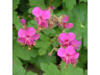 Gorgeous Geranium Bevans Beauty- the miracle worker