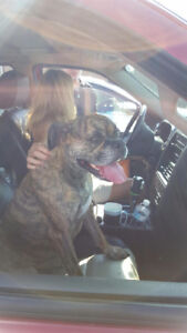 FOUND YOUNG FEMALE BOXER