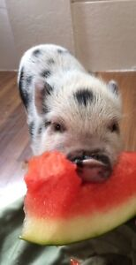 Baby pot belly pigs for sale!