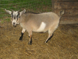 Chèvres miniatures