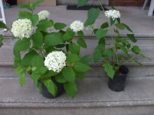 Perennial:  Hydrangeas (large white snow balls)
