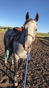 4 year old grey mare