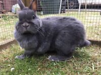 Free to good home blue Netherland dwarf girl rabbit !