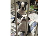 BEAUTIFUL GIRL KC REG BOSTON TERRIER PUPPIES READY NOW