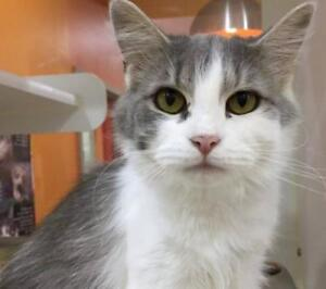 "Adult Female Cat - Domestic Medium Hair (Gray & White): ""Monica"""
