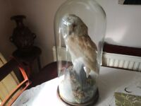 Taxidermy antique stuffed Barn Owl in glass dome pre 1947