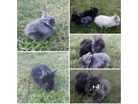 Pure Lionhead Rabbits Adults & Baby Bunnies Bunny