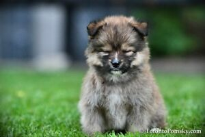 Blonde and Brown Sable Male Pomsky puppies - Pomeranian Husky