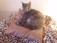 BEAUTIFUL YOUNG FEMALE BLUE/APRICOT TORTOISESHELL CAT - 15 MONTHS - LOOKING 4 NEW HOME WITH GARDEN