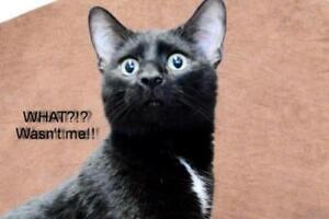 "Adult Male Cat - Domestic Short Hair (Black): ""Captain Hook"""
