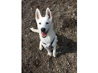 Husky x German Shepard puppy pup dog