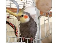 Young Male Cockatiel with cage and toys