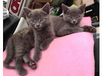 Adorable British Blue Shorthair Cross Kittens