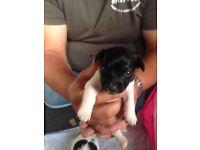 Beautiful female Jack Russell puppy 2
