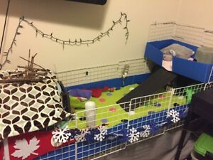3 guinea pigs & cage & all supplies