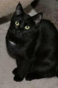 """Young Female Cat - Domestic Short Hair (Black): """"Lilith"""""""