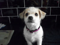 Bichon Frise X Jack Russell Girl Puppy (Last One)