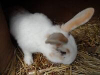 RABBIT FOR SALE MALE STUNNING BOY GOLD AND WHITE 6 MONTHS OLD LOP CROSSED ENGLISH