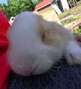 Free baby bunny to loving home