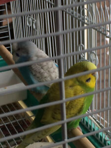 2 budgies lost in Thornhill (bayview & John)
