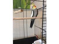 YOUNG COCKATIEL BIRD WITH CAGE ETC