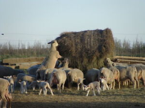 262 High performance Rideau Arcott ewes for sale