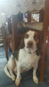 Beagle / Hound mix - Rare Green Eyes 1 year old for Rehoming