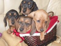 Dachshund mini smooth haired puppies for sale