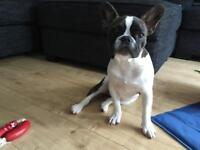 Female French Bulldog 6 Months Old