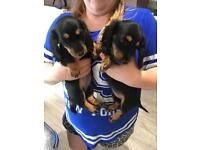 Miniature Long-haired Dachshund Puppies - Kc Reg'd