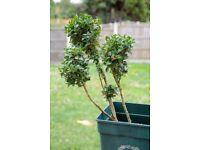 3 Buxus plants in pots