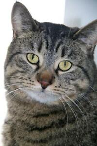 """Young Female Cat - Tabby (Gray): """"Ronnie"""""""