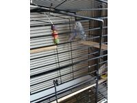 2 baby budgies and new cage