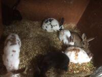 Baby Rex rabbits