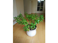 Jade plant/Money tree/Crassula ovata (many sizes) from £1.50 each