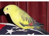 Cockatiel rock pabler mix pet