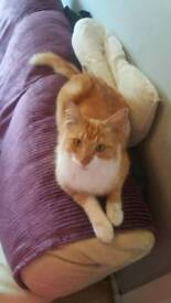 Gorgeous 2 year old tabby male very fluffy boy