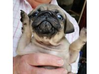 pug puppies,kc registered,vet health checked,microchipped,8weeksold,2boys 1girl, readynow