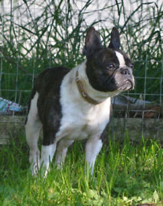 Brindle and White French Bulldog