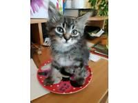 Fluffy Female X bengal kitten
