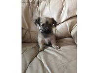 Beautiful Pug X Yorkie puppy