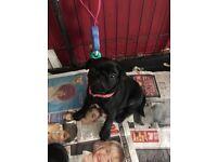 Health checked kc pug pup