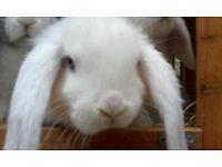 Mini lop baby rabbits, ready 29th July