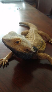 Mature male Bearded Dragon