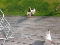 3 hens and hen house,run
