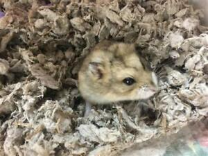 "Baby Male Small & Furry - Hamster: ""Nugget"""